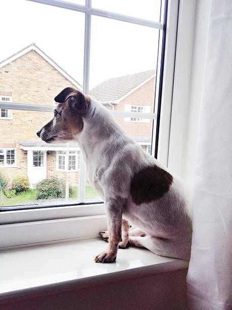 Jack Russell dog sitting on windowsill looking outside stock photo