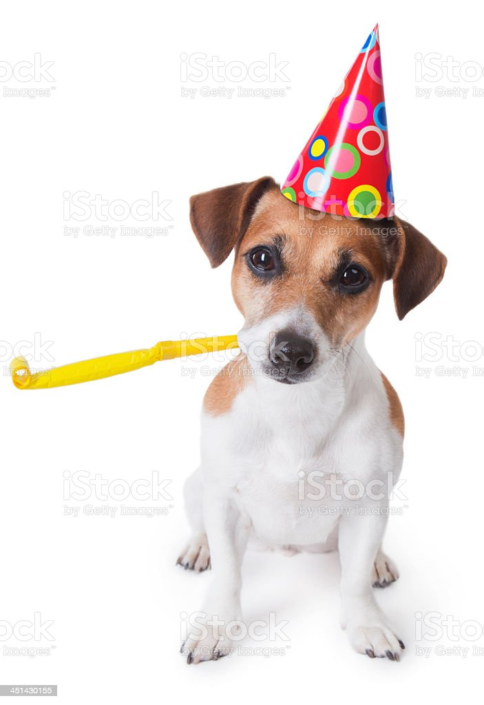 Jack Russell dog wearing a party hat with a party whistle stock photo