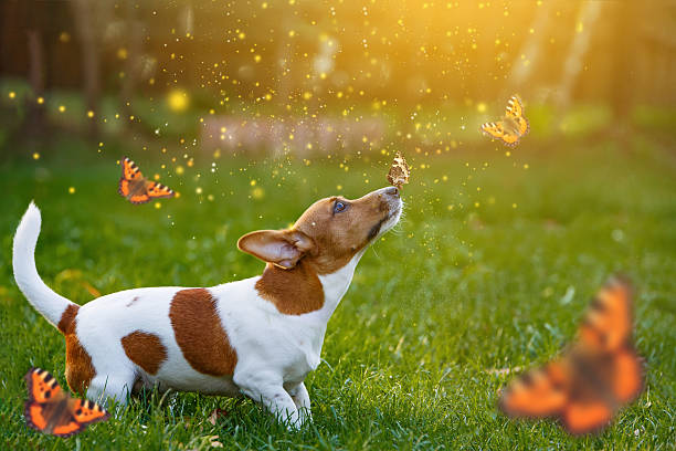 Jack russell dog with butterfly on his nose. – Foto
