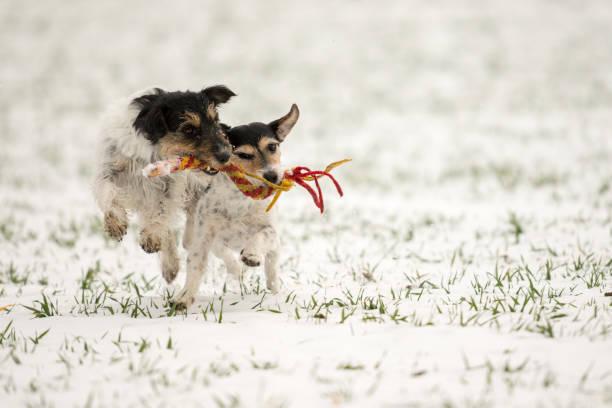 Jack Russell Dogs spielen zusammen im Schnee – Foto