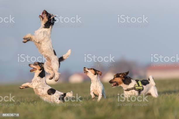 Jack russell funny cute little dogs jumping up and looking picture id883036718?b=1&k=6&m=883036718&s=612x612&h=07ohaqlhwlzbx83krdyvookguttt1feuqv3mpciamki=