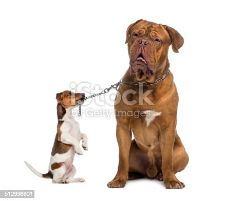885056264 istock photo Jack Russell holding Dogue de Bordeaux with a chain leash 512996601