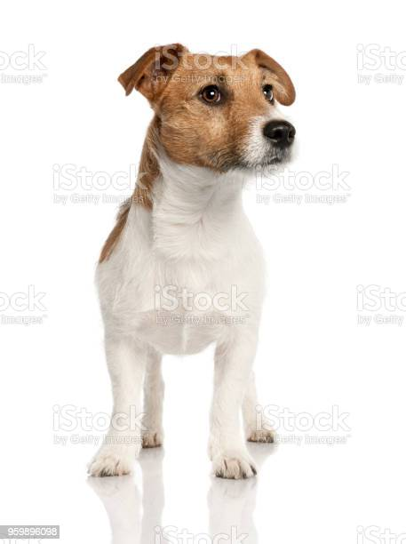 Jack russell in front of a white background picture id959896098?b=1&k=6&m=959896098&s=612x612&h=zdnkw4odk9g22ki9yndsaplktmdd v ezdps2e nvmg=
