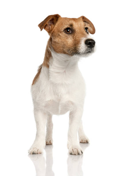 Jack russell in front of a white background picture id959896098?b=1&k=6&m=959896098&s=612x612&w=0&h=kxhywhuoyukvfdbjniufhnvr kakssqahhu52xnceni=