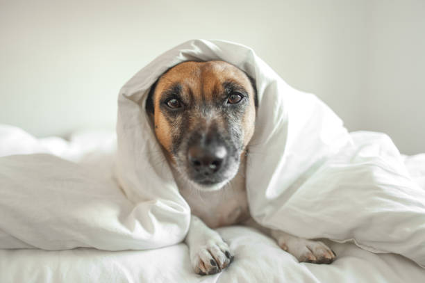 Jack Russell in white bed stock photo