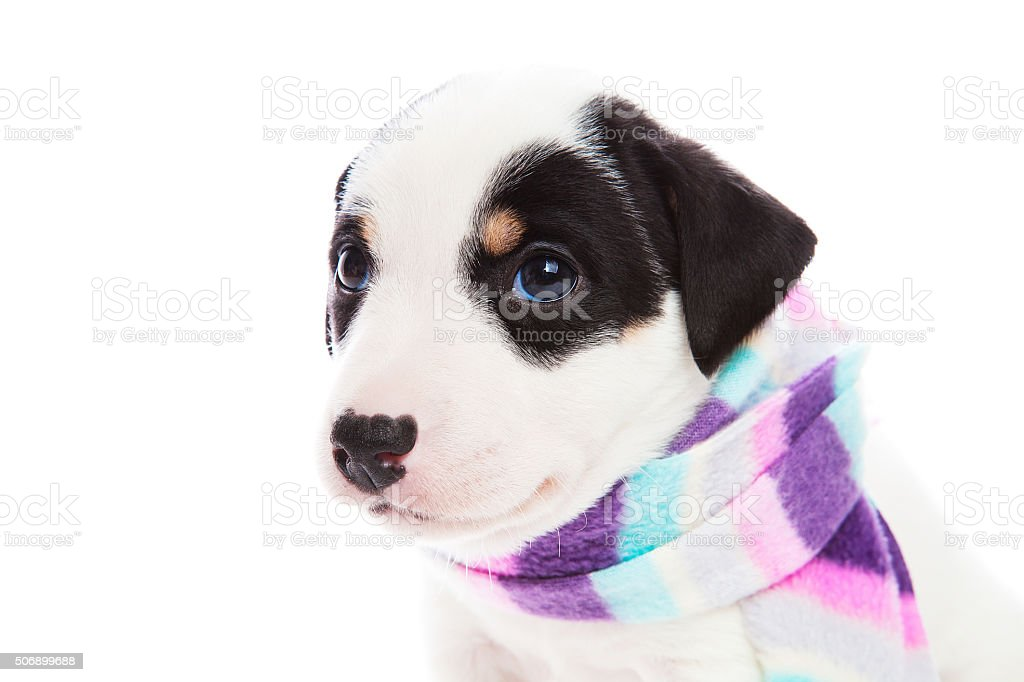 Jack Russell is sick in a striped scarf stock photo