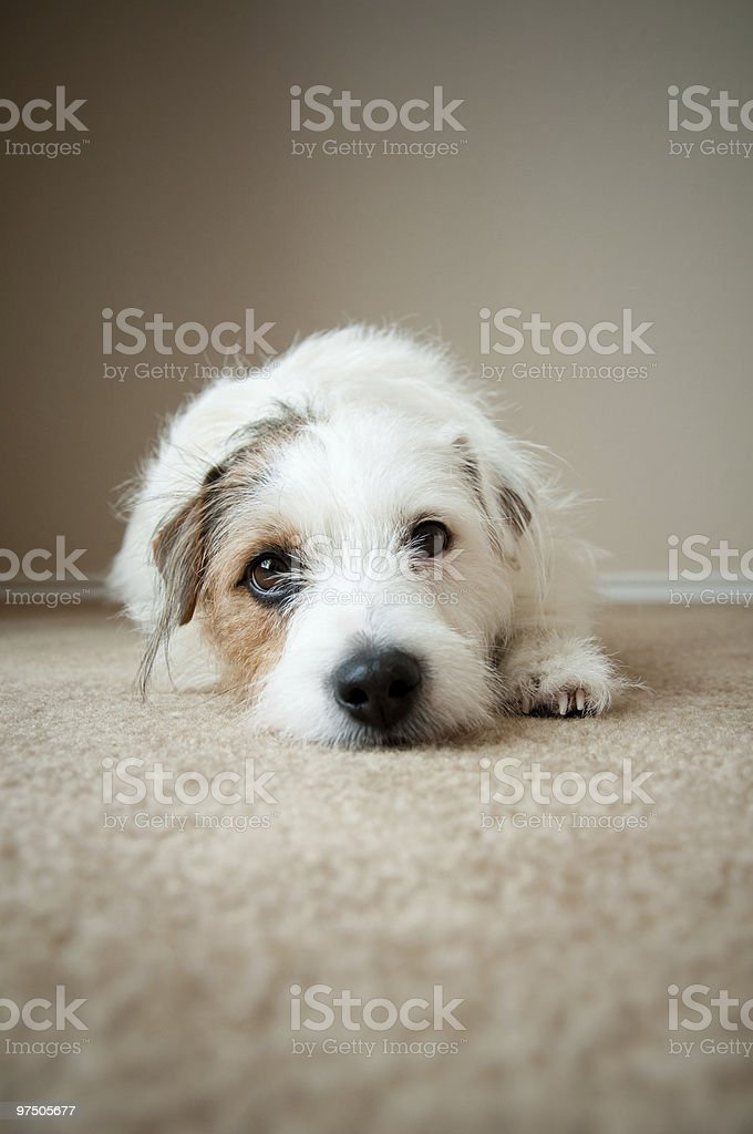 Jack Russell Laying on the Floor royalty-free stock photo