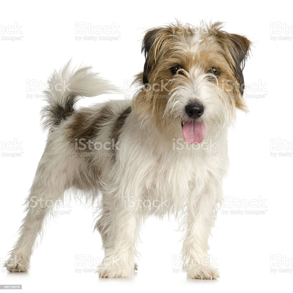 Jack russell long haired ( 1 years ) stock photo