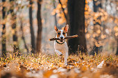 Jack Russell Parson Terrier Running Toward The Camera  with wood in his mouth