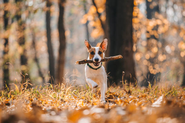 Jack Russell Parson Terrier Running Toward The Camera Jack Russell Parson Terrier Running Toward The Camera  with wood in his mouth animal mouth stock pictures, royalty-free photos & images