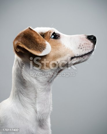 615107296 istock photo Jack Russell paying attention 170117402
