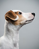 Beautiful portrait of a Jack Russell Terrier puppy.