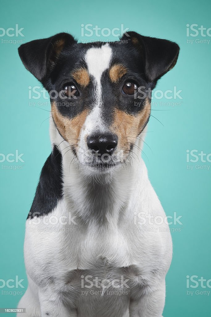 Jack Russell royalty-free stock photo