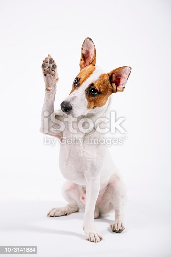 Studio photography terriers for all applications.  Portrait of Jack Russell terrier.  Portrait of a dog.  Pet portrait.