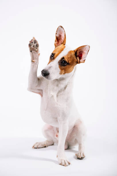 Jack Russell portrait - give me a five stock photo