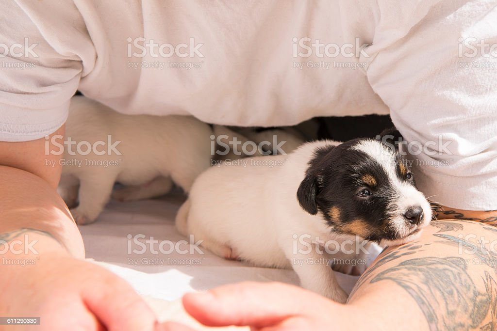 Jack Russell puppies 20 days old stock photo