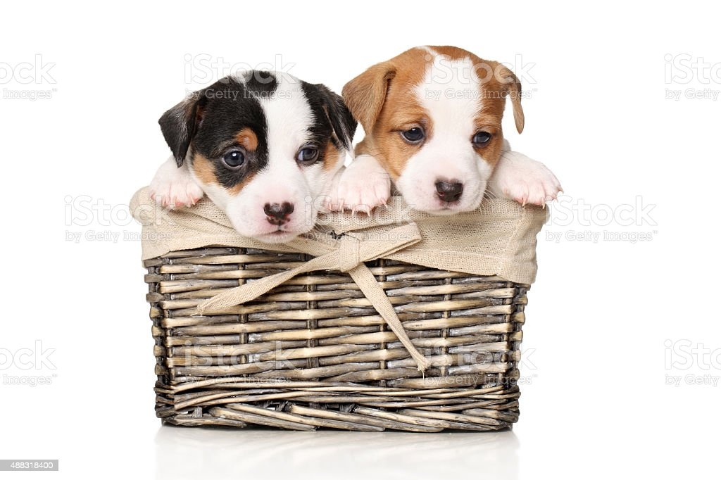Jack Russell Puppies In Basket Stock Photo Download Image Now Istock