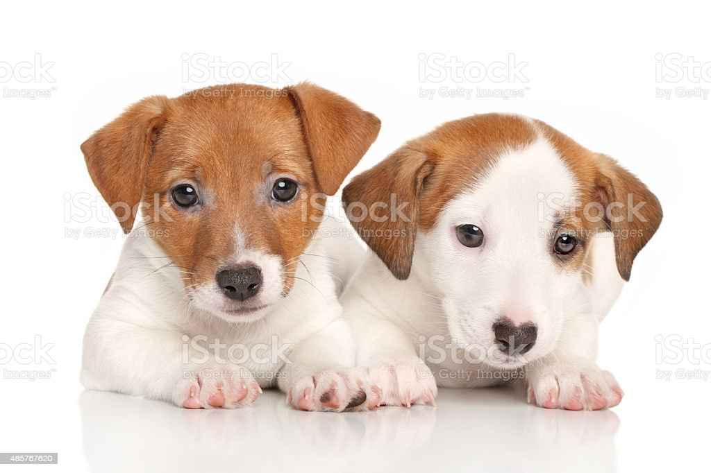 Jack Russell Puppies Stock Photo Download Image Now Istock