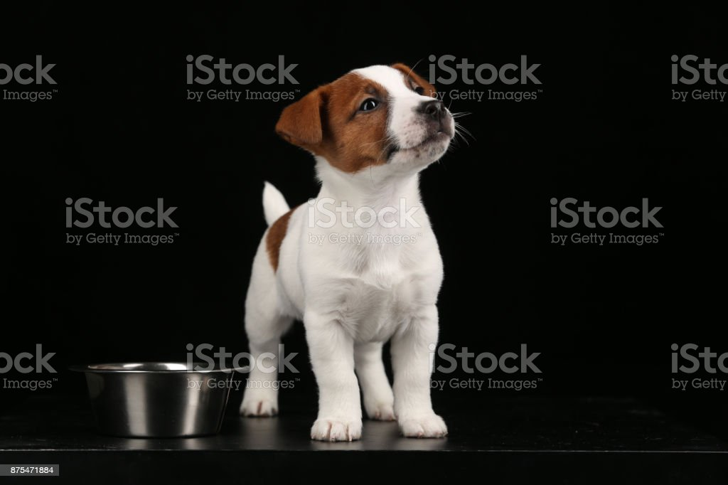Jack russell puppy and a bowl. Close up. Black background stock photo