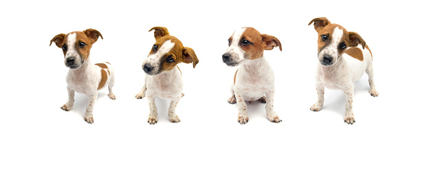 Jack Russell puppy on white background. Three months ago