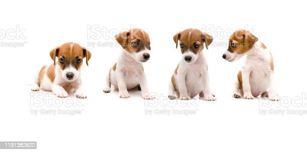 Jack russell puppy on white background picture id1131382622?b=1&k=6&m=1131382622&s=612x612&h=roe0gvpohcdh 2iv2dun55k4w3wki 8 vivsknxdl78=