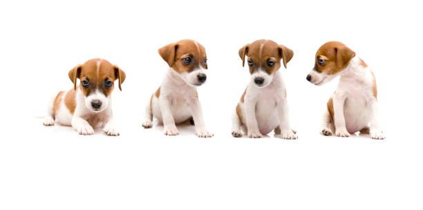 Jack russell puppy on white background picture id1131382622?b=1&k=6&m=1131382622&s=612x612&w=0&h=topf2dnt mglufypaea0ujusonaa utjxurhuk7uuuc=