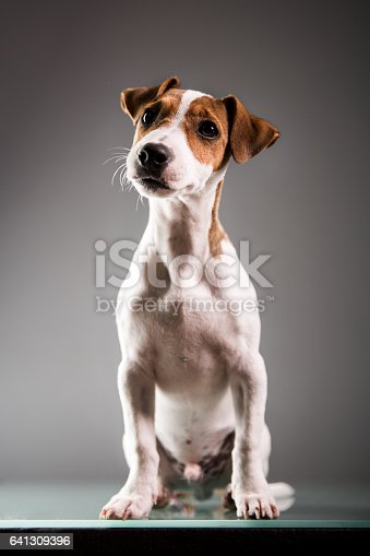 Jack russell puppy posing for the camera