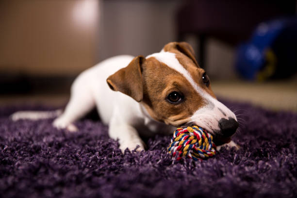 jack russell puppy - milan2099 stock photos and pictures