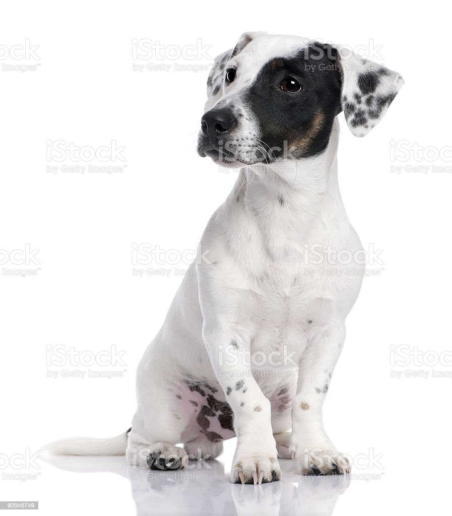 Jack russell puppy (8 months) royalty-free stock photo