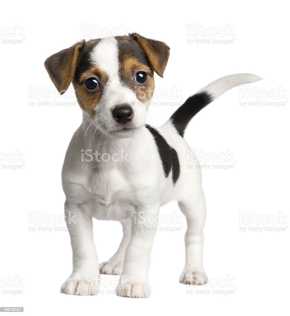 Jack russell puppy (8 weeks) stock photo