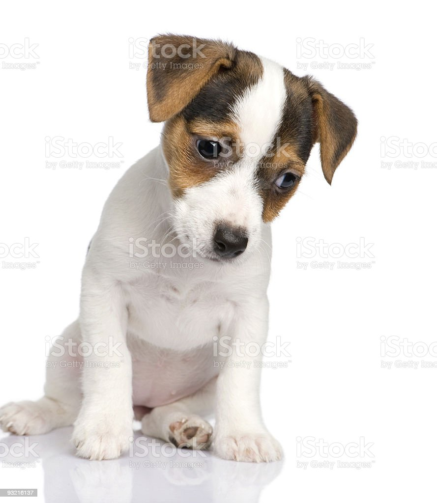 Jack russell puppy (8 weeks) royalty-free stock photo