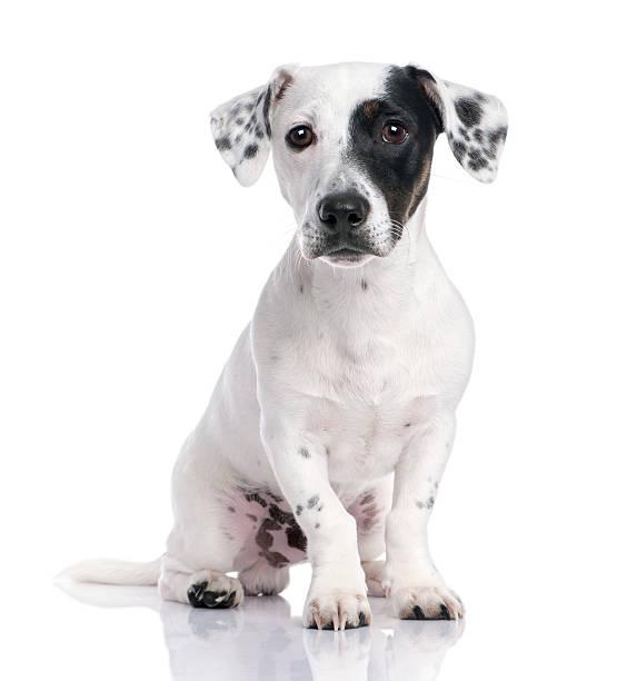 Jack russell puppy picture id93217801?b=1&k=6&m=93217801&s=612x612&w=0&h=cafesypbidc6oxtmnrqkglfyhoyqar jw3cf3ko gmy=