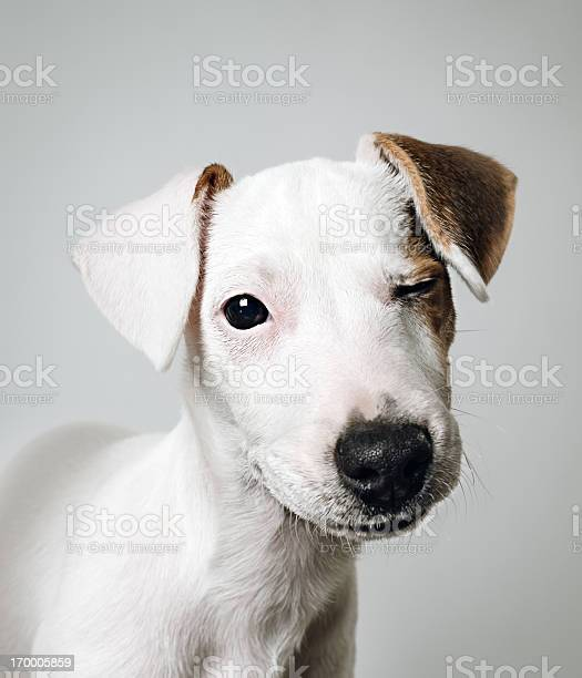 Jack russell puppy portrait picture id170005859?b=1&k=6&m=170005859&s=612x612&h=7lm6bqkoj9mdg6 bxxyskxgjvn wp8ziqiwgw 7g1 c=