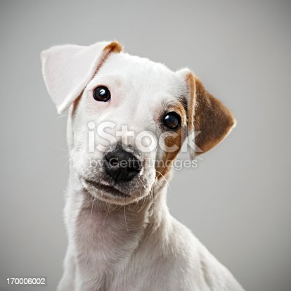 istock Jack Russell puppy portrait 170006002