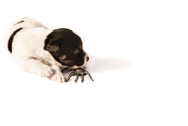 jack russell puppy with spider - ready for halloween - hund spinnenkostüm stock-fotos und bilder