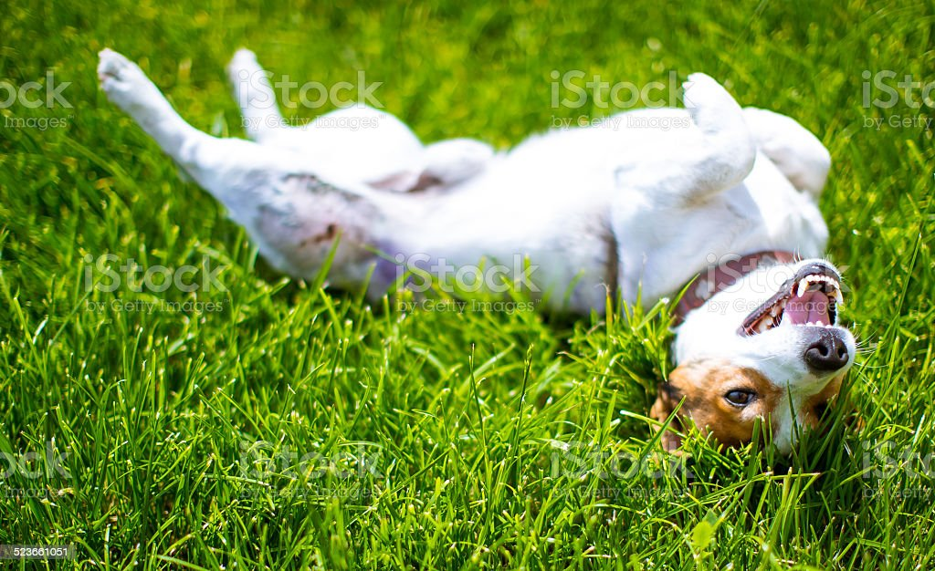 Jack Russell - Small Dog - 11 stock photo