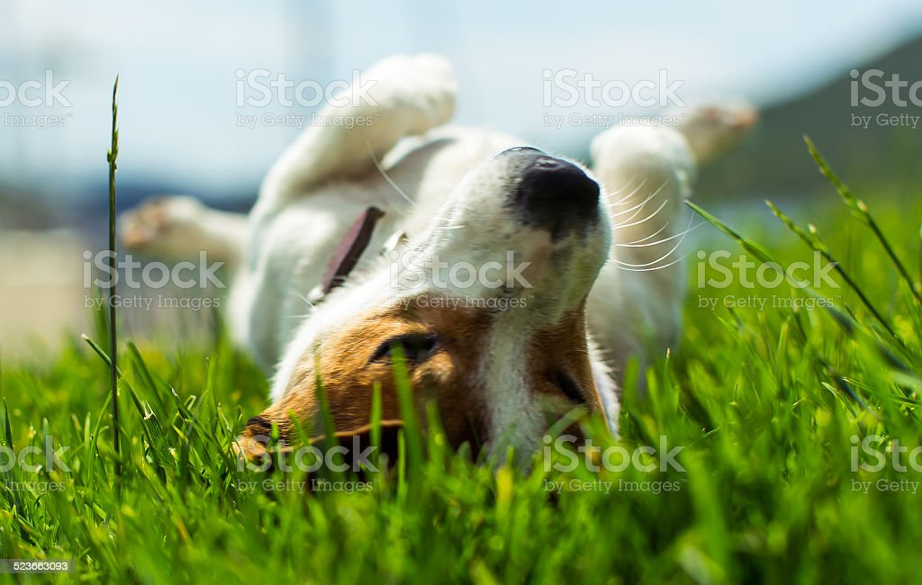 Jack Russell - Small Dog - 14 stock photo