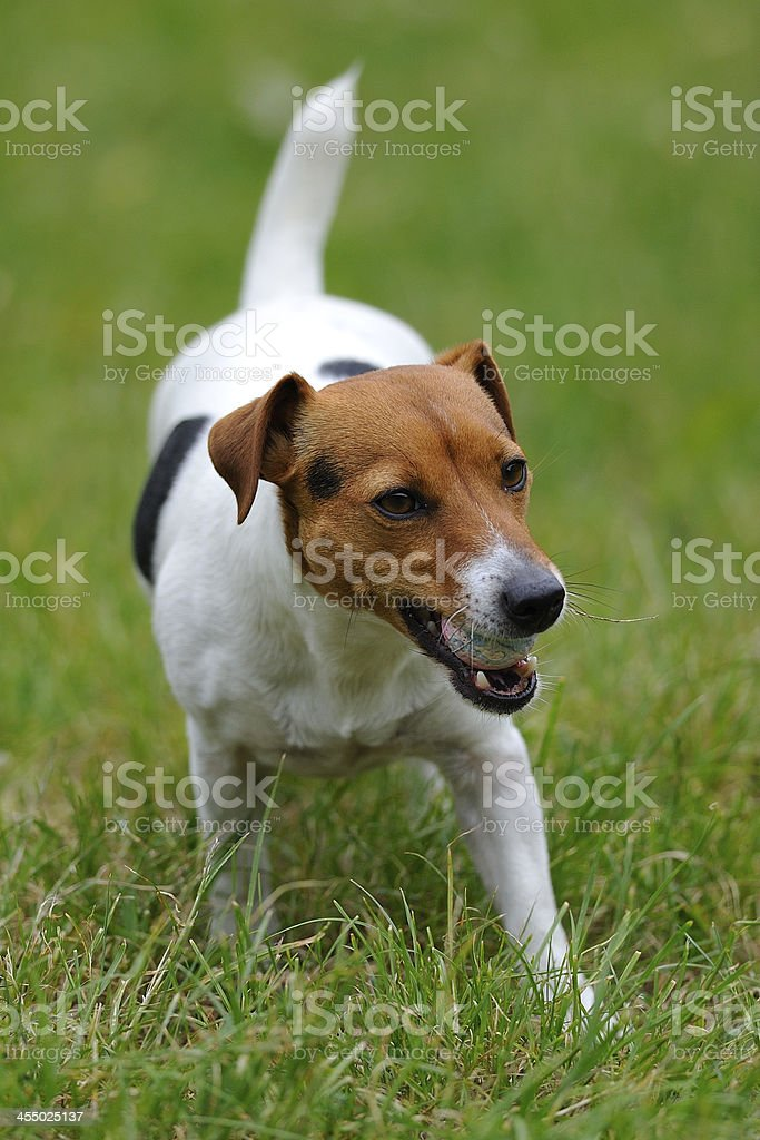Jack russell terier currying ball royalty-free stock photo