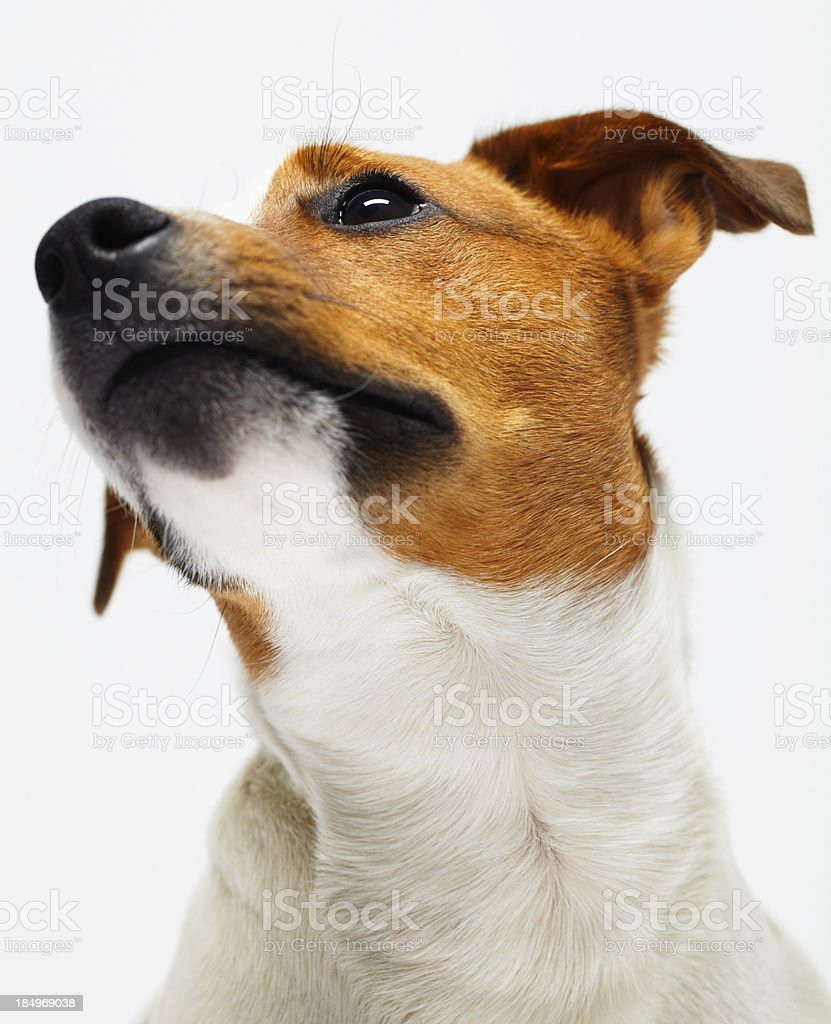 Jack Russell Terrie royalty-free stock photo
