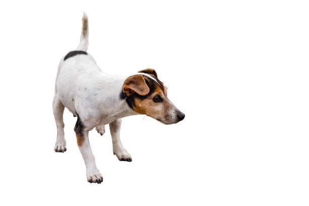 Jack Russell Terrier 11 Jahre alt, isoliert Haar Stil glatt - niedlichen kleinen Hund - auf weißen Hintergrund – Foto