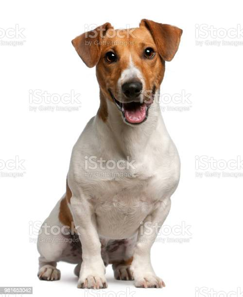 Jack russell terrier 12 months old sitting in front of white picture id981653042?b=1&k=6&m=981653042&s=612x612&h=ehlprj2yvkmxzqbs yxxb3gfcxfmeumq7fwvckcere0=