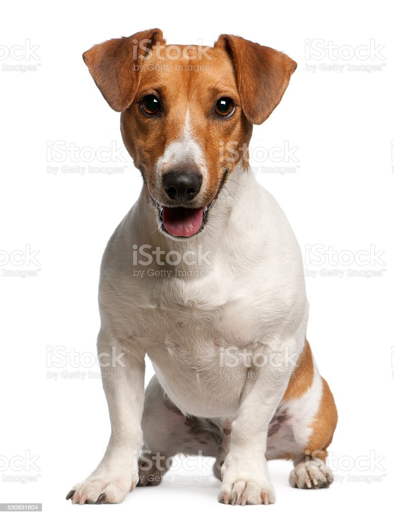 Jack Russell Terrier, 12 months old, sitting stock photo
