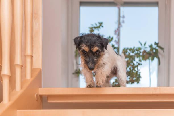 Jack Russell Terrier 2 Jahre alt. Kleiner Hund auf offener Treppe – Foto