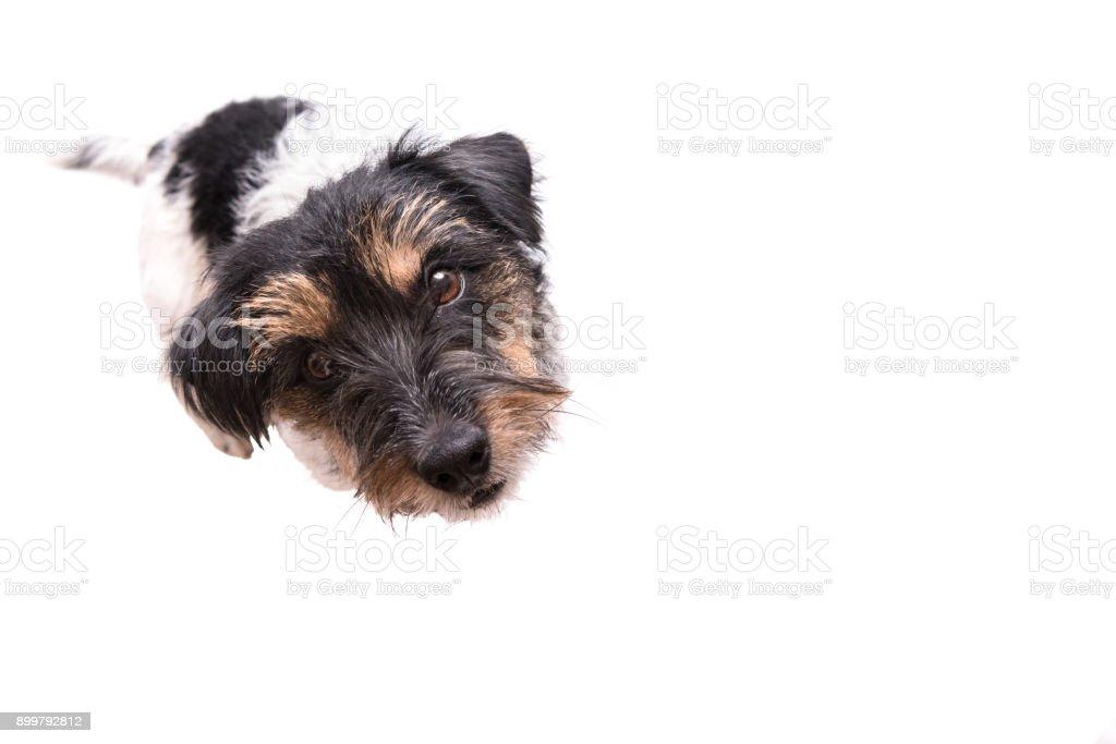 Jack Russell Terrier 3 ans, brut de style de cheveux - mignon petit petit chien - isolé sur fond blanc - Photo