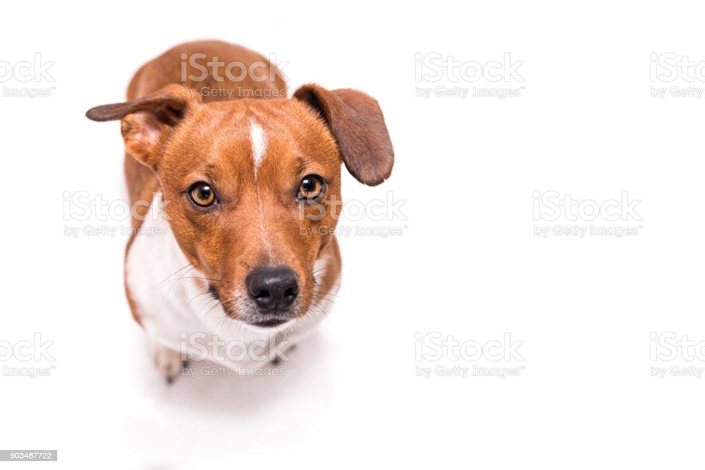 Jack Russell Terrier 3 Jahre alt, Haar Stil glatt - niedliche kleine Hündchen - isoliert vor weißem Hintergrund - Hund sucht - lustige Perspektive – Foto