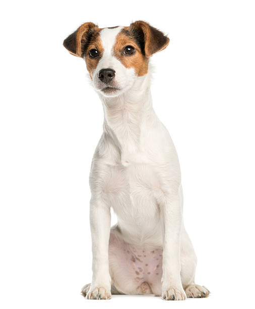 Jack russell terrier 5 months old sitting isolated on white picture id450020835?b=1&k=6&m=450020835&s=612x612&w=0&h=a2ivyh8knjocdq9vz2fgfrncr0rsi2puv8azjmynv70=