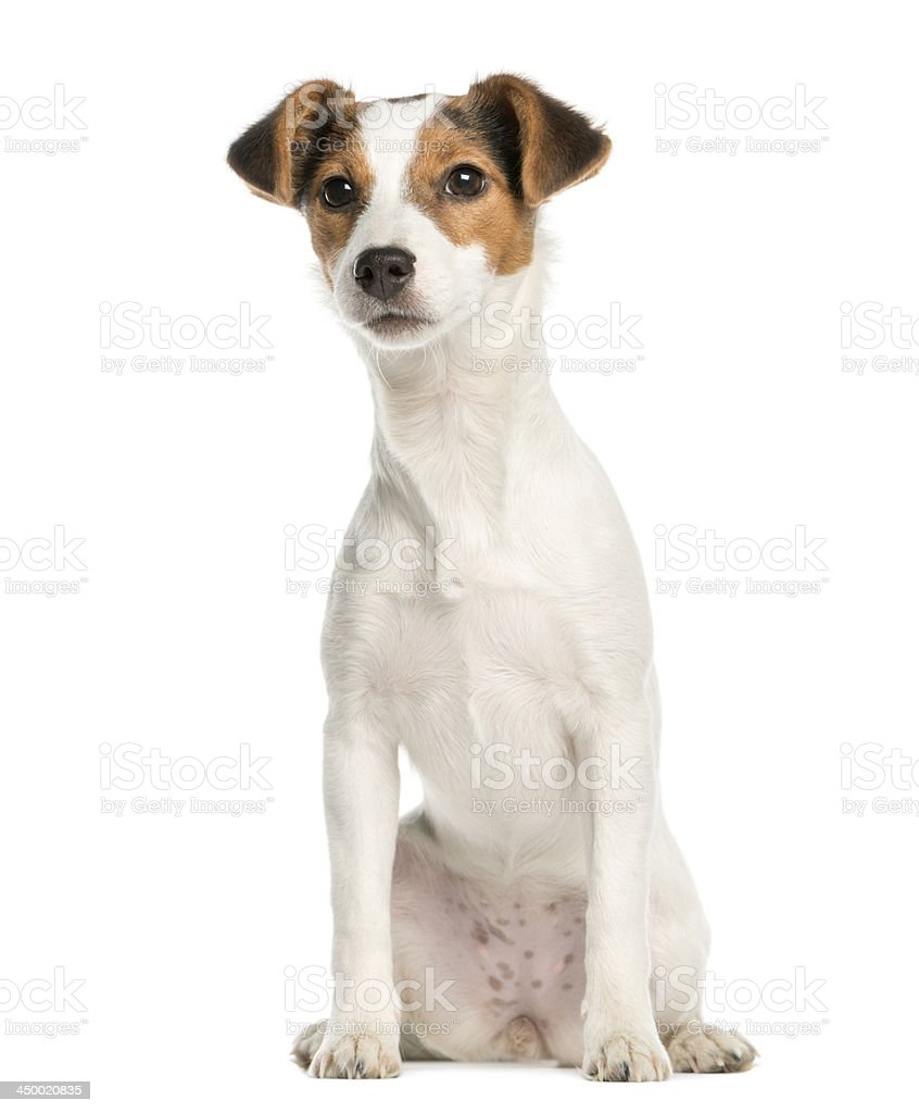 Jack Russell Terrier, 5 months old, sitting, isolated on white stock photo