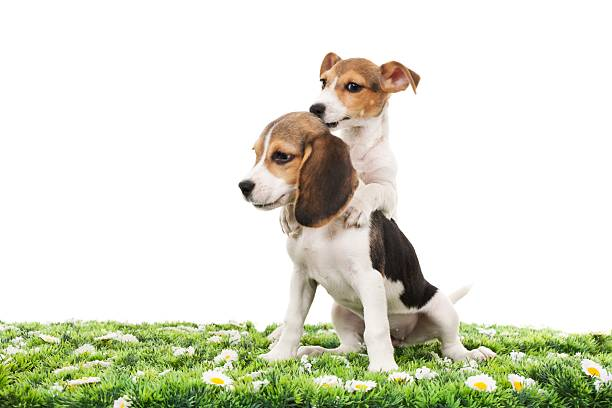 Jack russell terrier and beagle picture id155157470?b=1&k=6&m=155157470&s=612x612&w=0&h=uk03r g8ljmwxjeitbb  bvemxy3fqbrrnn1yclgq4w=