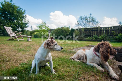 885056264 istock photo Jack Russell Terrier and English Springer Spaniel hanging out in the garden 1151871995