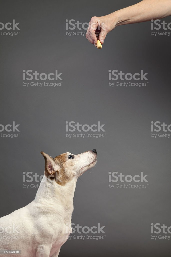 Jack Russell Terrier and Food Treat stock photo